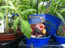 Hybrid Jalapeno Jungpflanze