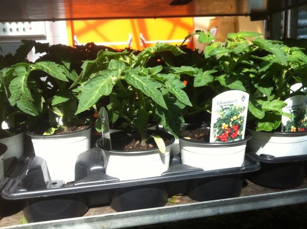 Hybrid Tomaten Jungpflanzen