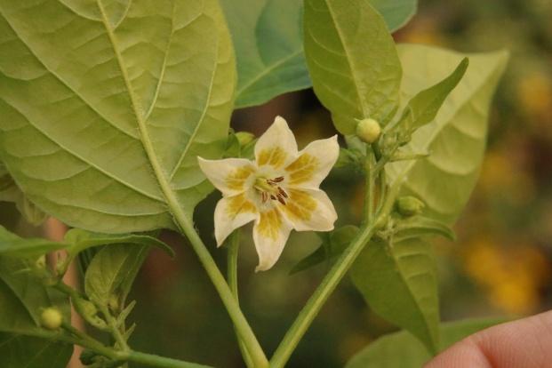 Die markante Blüte einer Baccatum