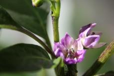 Violette Blüte einer Annum