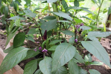 Eine violett blühende Annum mit violetten Früchten.