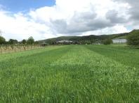 On-Farm Experiment: die Hellen Streifen sind die Mischungen aus Weizen und Erbsen, die dunklen die Weizen-Reinsaaten.