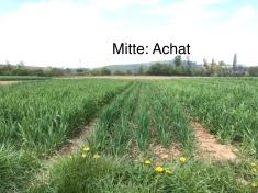 In der Mitte eine der kürzesten Weizensorten im Experiment: Achat.