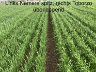 Zwei Weizen-Genotypen mit verschiedenen Blatttypen.