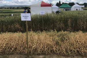 Vorne: lagernde Erbsen-Reinkultur. Hinten: standfeste Mischkultur aus Weizen und Erbsen.